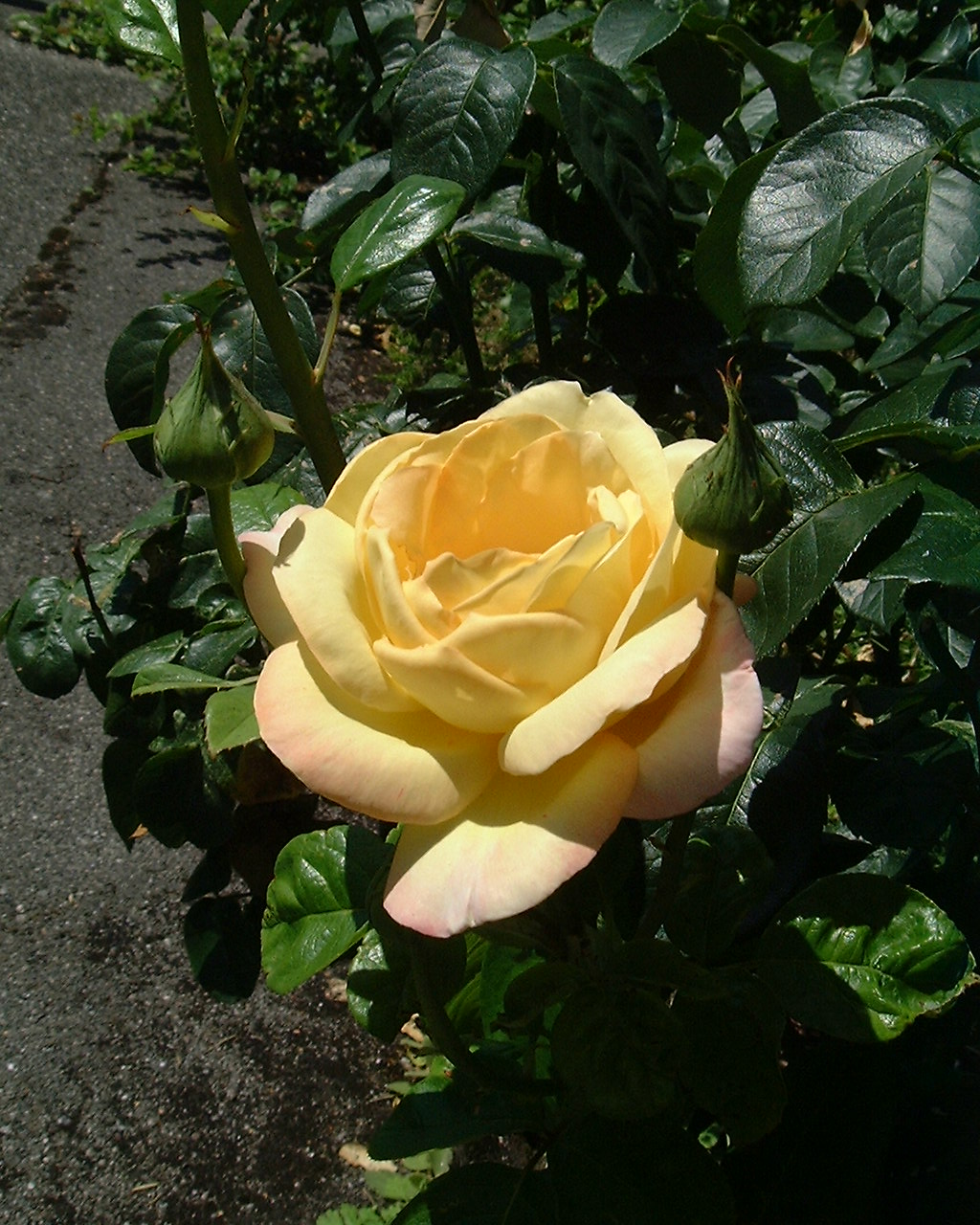 Rose RG