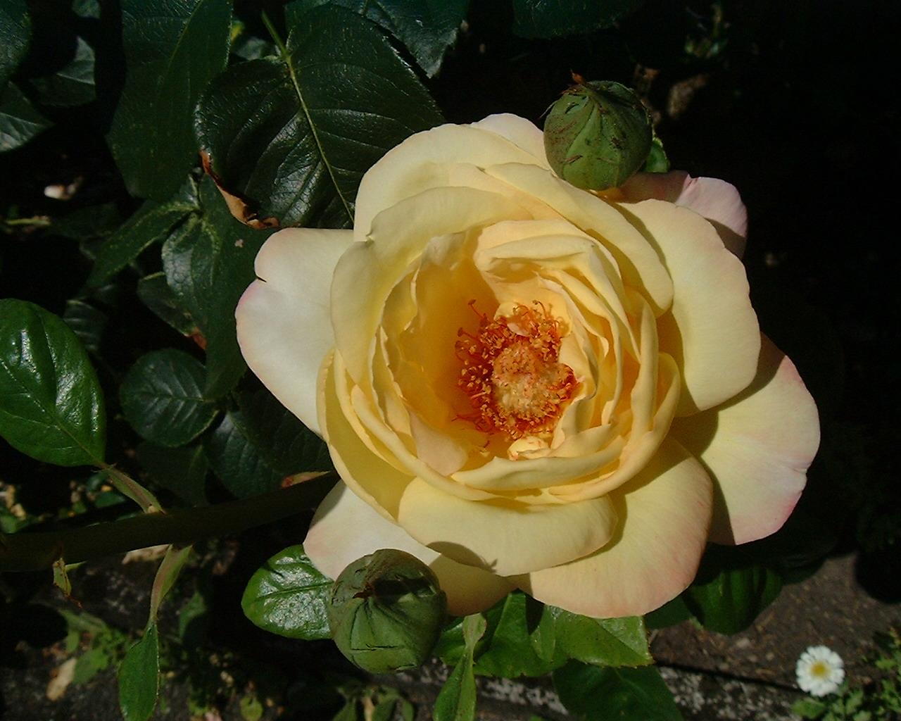 Rose 2 RG