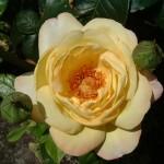Rose RG 3